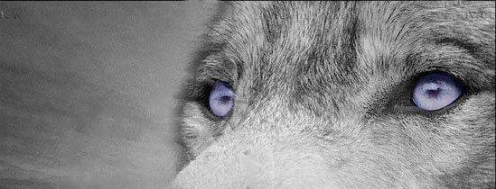 Le plan loup soumis à consultation
